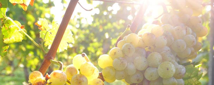 Weintrauben am Rebstock von der Sonne angestrahlt