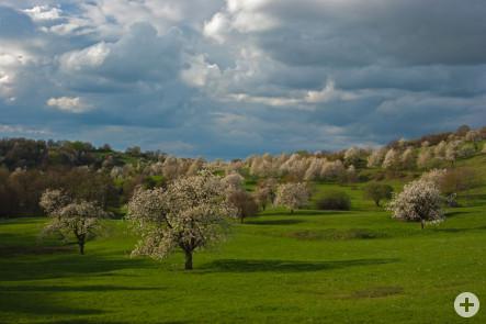 Bild des Monats April - Kirschblüte Berghauser Matten - fotografiert von Daniel Lisson