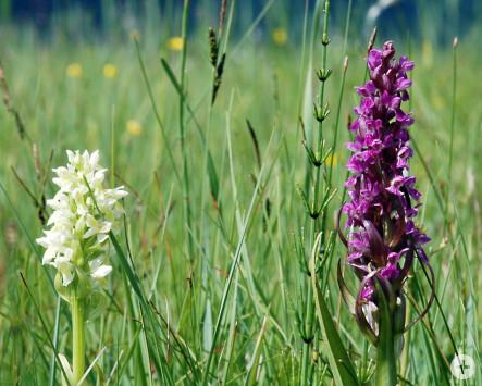 Orchideen im Jennetal